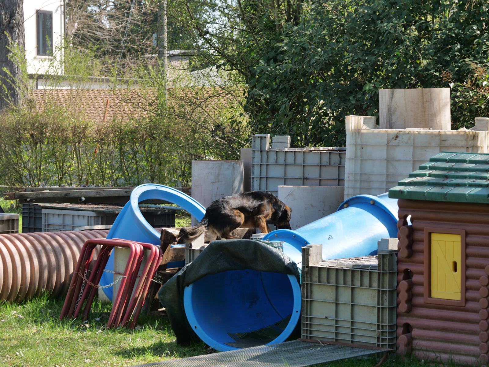 cane in attività di addestramento