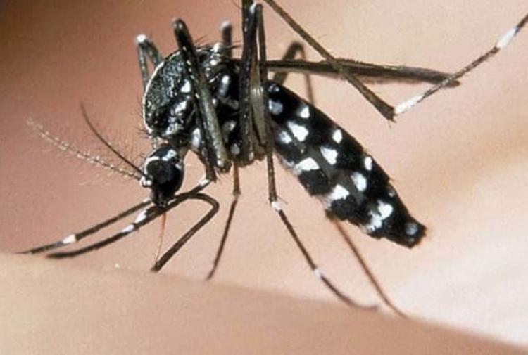 Immagine di una zanzara tigre