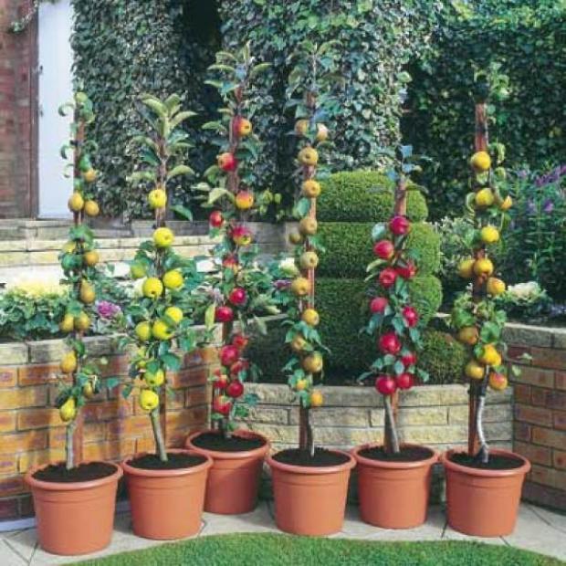 Arbusti e piccoli alberi da fiore e da frutto per giardini - Alberi frutto giardino ...